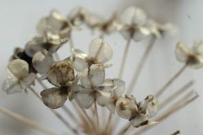 Image of monochrome blossoms in winter.