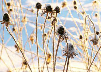 black-eyed susans in snow