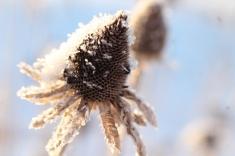 Black-Eyed Susan in Winter
