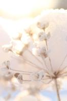 schneefloeckchen weissroeckchen