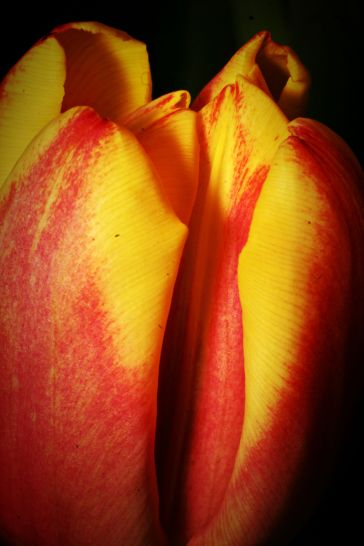 Valentine's Tulip