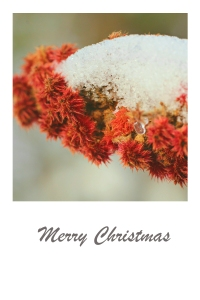 Red sumac covered in snow - Christmas card.