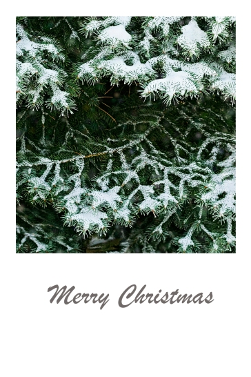 Snow covered detail of a spruce - Christmas card.