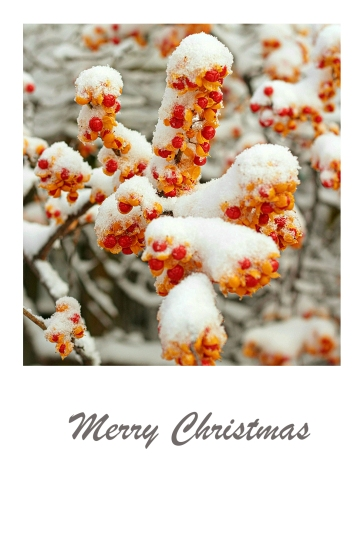 Snow covered red & orange berries - Christmas card.